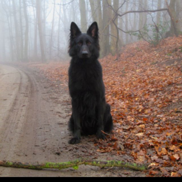 Black Wolf Dog Wtf Is This I Want It Cute Animals Animals