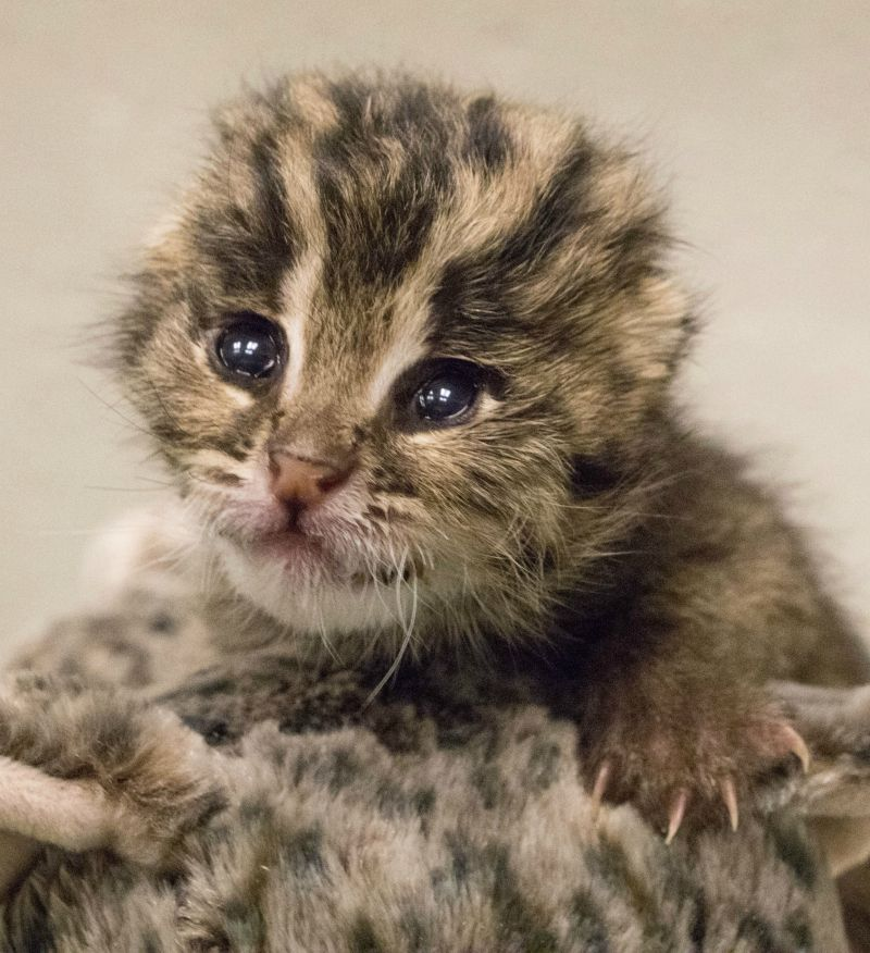 Rare Baby Fishing Cat Arrives By Cesarean Delivery Baby Cats Newborn Animals Cats