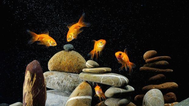 Фото Золотые рыбки в аквариуме | Аквариум, Золотая рыбка и ...