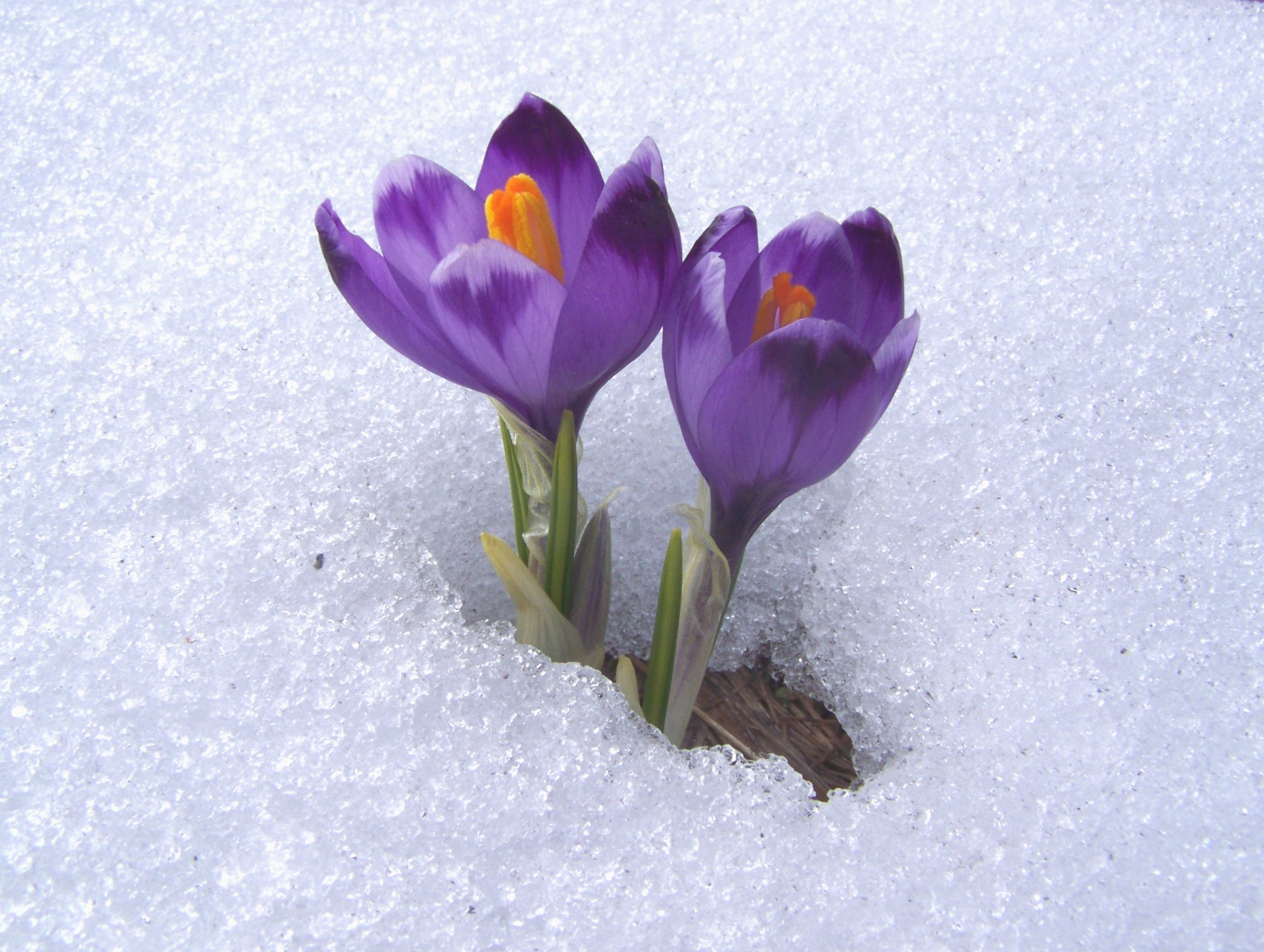Image result for images of flower coming up in snow