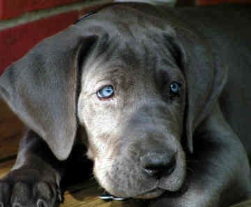 Great Dane puppy. I can't wait until I can get a dog!