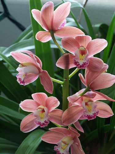 Orchidées Cymbidiums