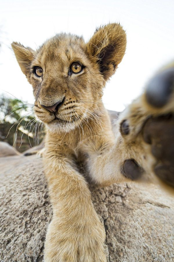 wolverxne:  Cheeky wide angle cub - by: Emmanuel Keller