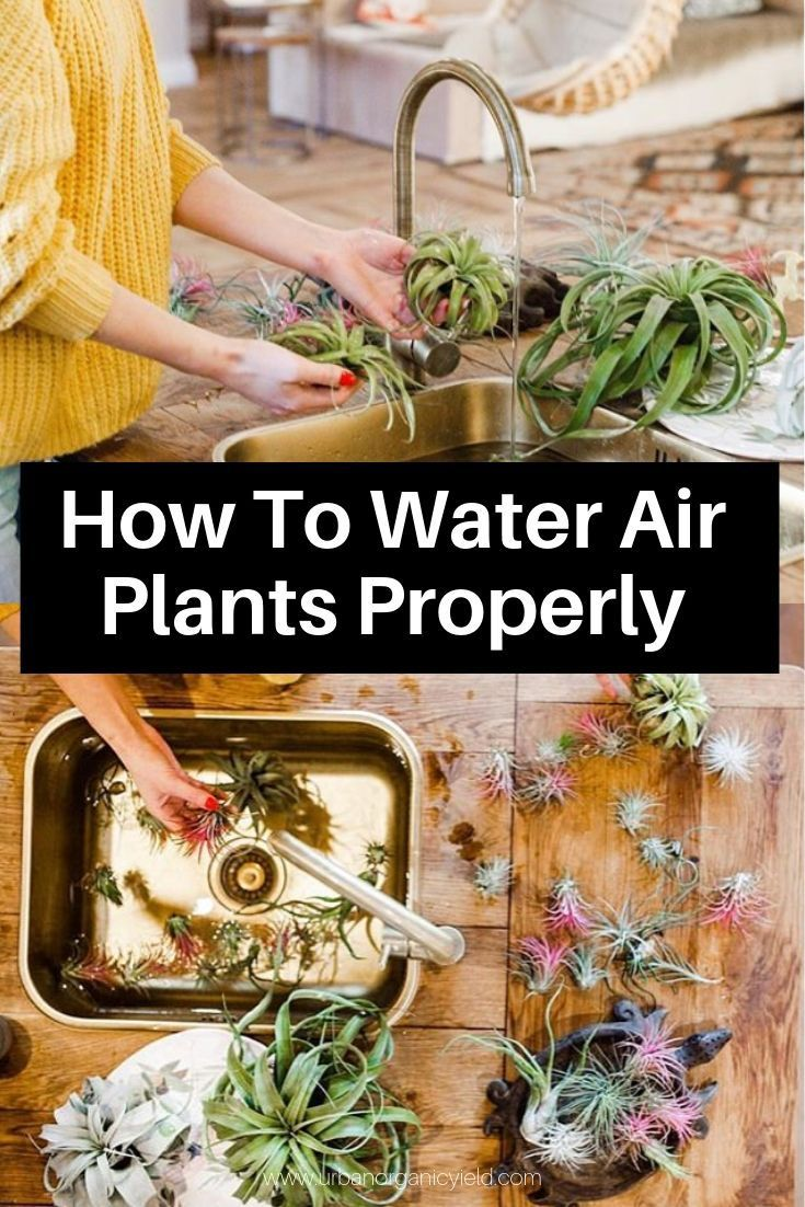How To Water Air Plants The Right Way To Keep Your Air