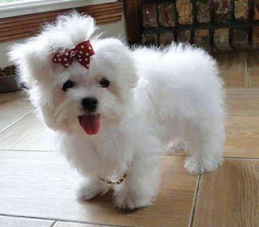 Wat Een Schatje Teacup Puppies Maltese Maltese Puppy Puppies
