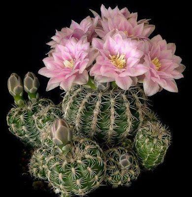 �Kaktusz / Cactus