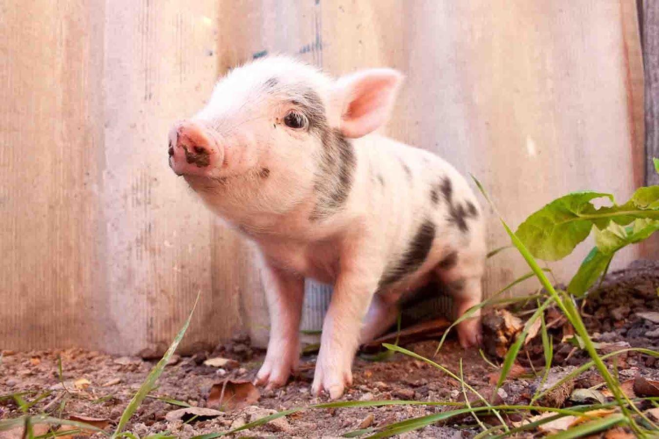 Popper pig meets meats engulfing swine oink
