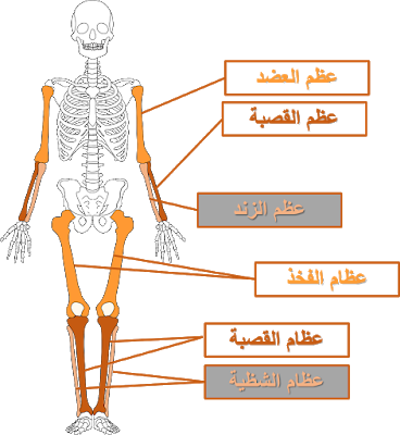 ايقاظ علمي سنة خامسة أجزاء الهيكل العظمي وأنواع العظام Blog Posts Symbols Letters