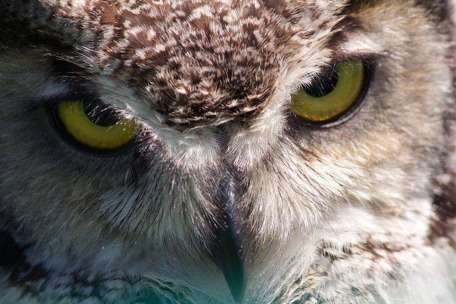 Long-eared Owl up close by MJM Images, via 500px