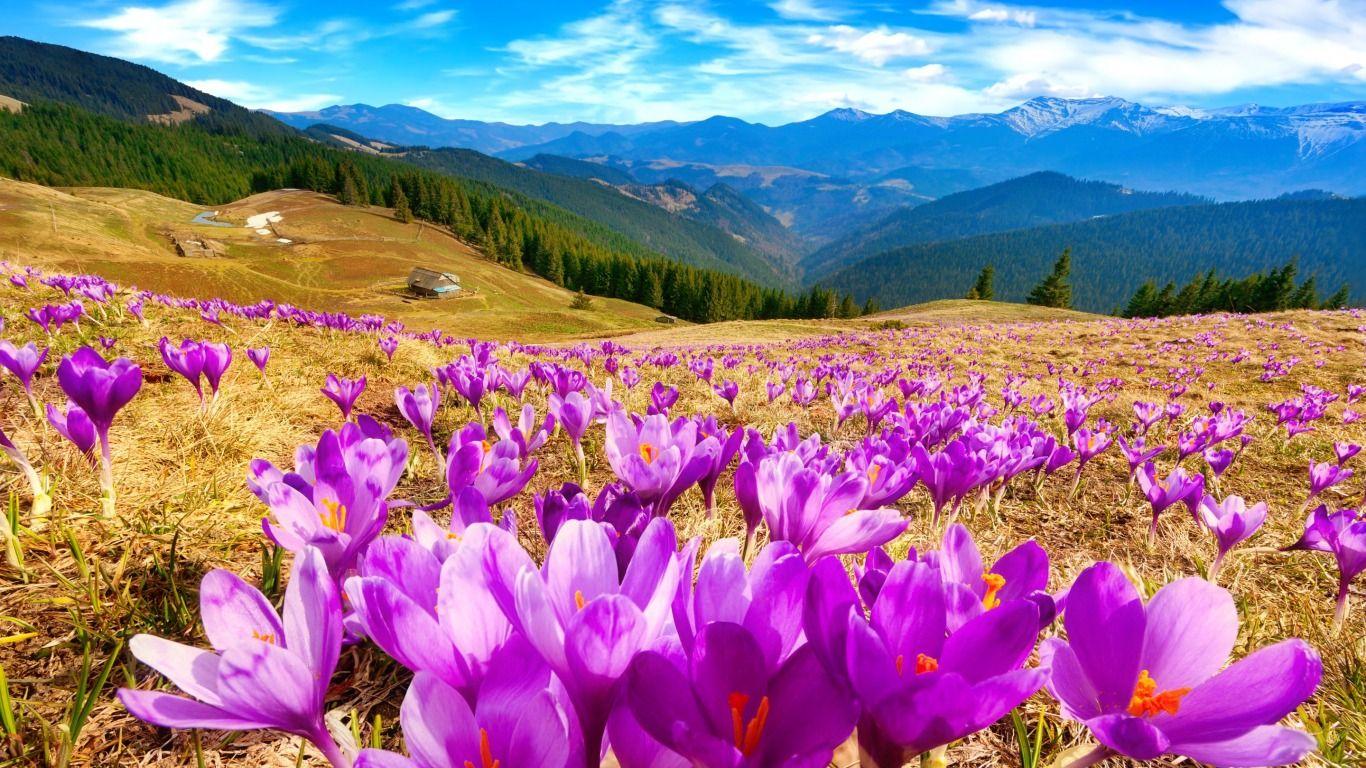 Spring In Mountain Desktop Nexus Wallpapers Crocus Flower Purple Wallpaper Hd Flower Field