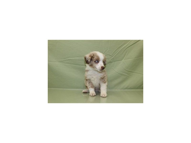 Miniature Australian Shepherd Available At Petland Jacksonville Call Us To Learn More About Available Pets Puppies Miniature Australian Shepherd Pets