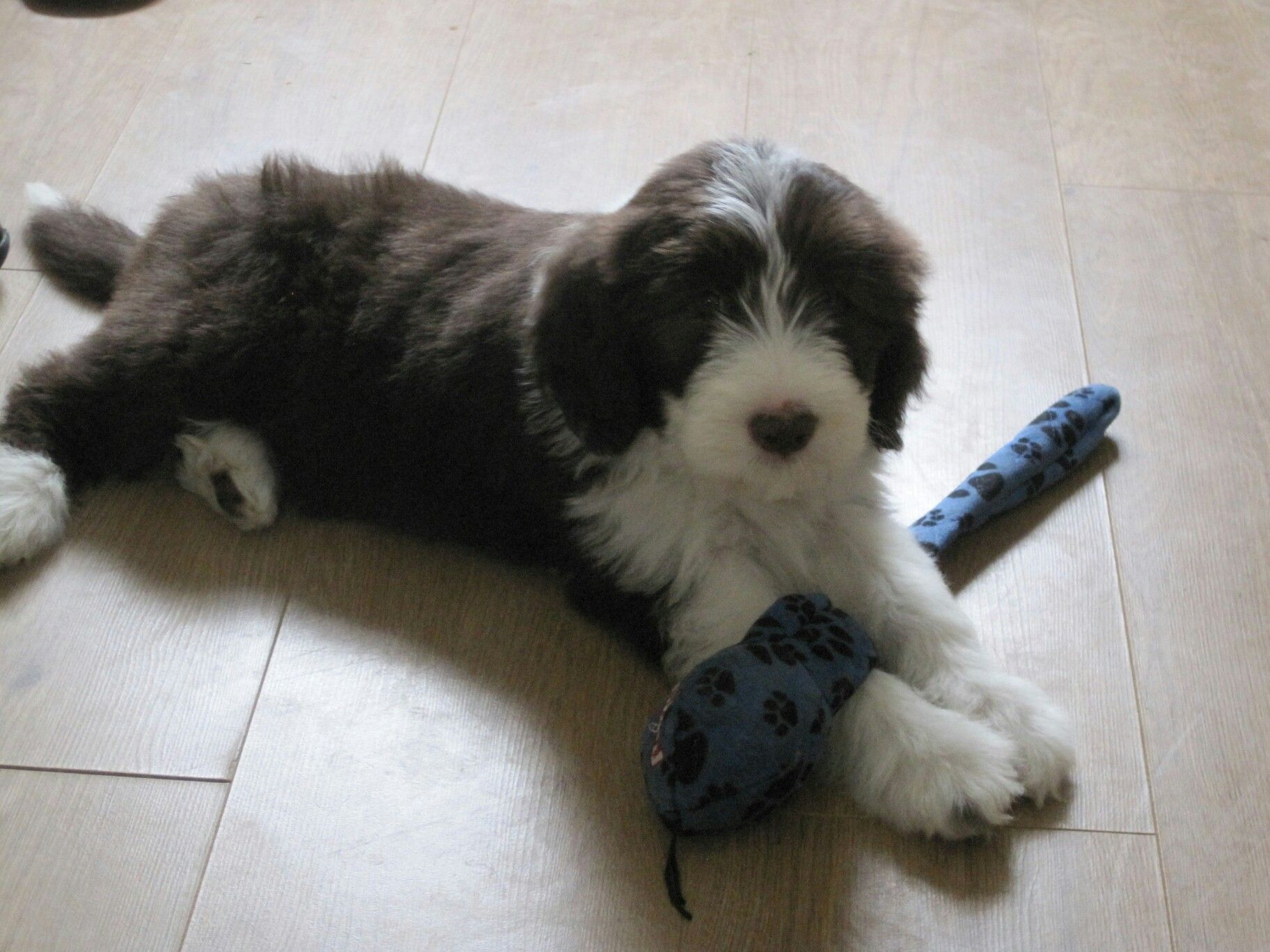 Yogi In Scotland At Shelagh S Bearded Collie Pets Pup