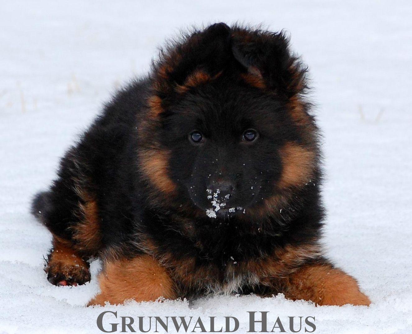 10 Week Old Long Coat German Shepherd Puppy Jax Vom Grunwald Haus German Shepherd Puppies German Shepherd Breeders German Shepherd