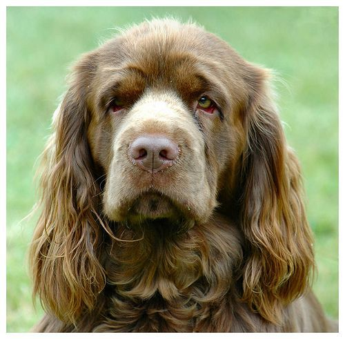 Sussex Spaniel Reminds Of What A Cross Betweeen A Clumber And A