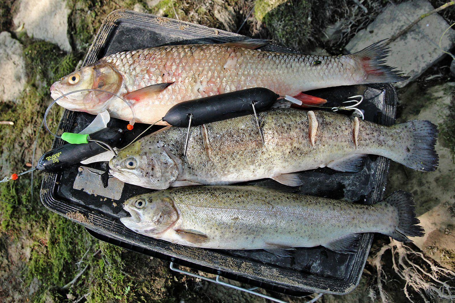 Tot, aber lebendig! | Wels angeln, Angeln, Wels