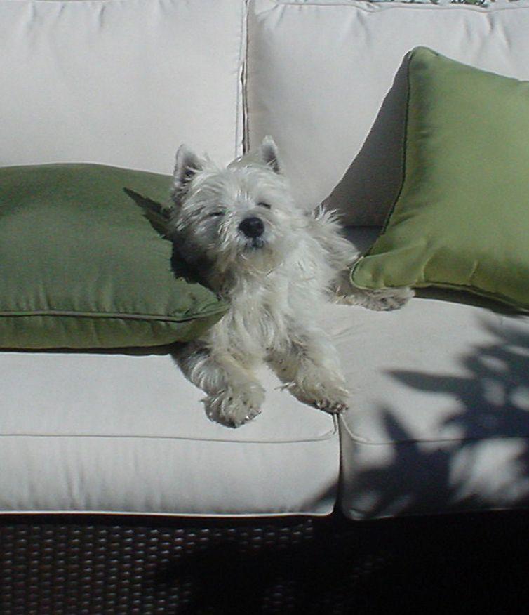 Resultado de imagen para westie sofa