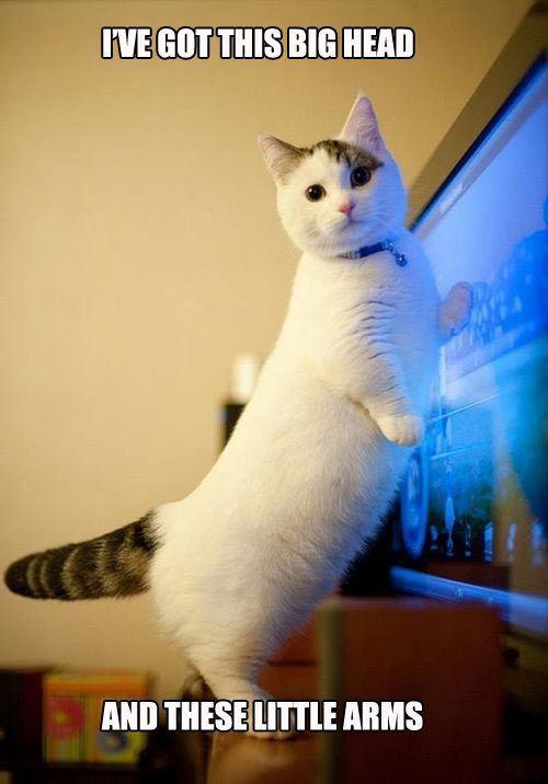 Corgi Shaped Cat Munchkin Cat Cute Animals Cute Cats