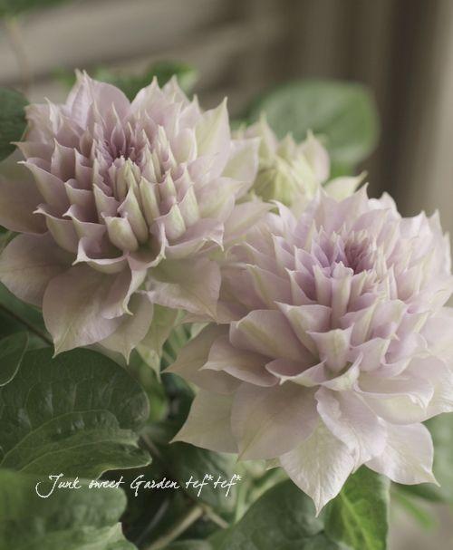 <i>Clematis 'Belle of Walking'</i><BR><BR>クレマチス<BR>『ベル・オブ・ウォーキング』 | Flower Species,クレマチス