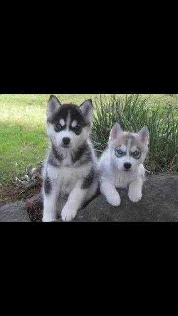 So Alert So Cute Husky Puppy Husky Puppies For Sale Siberian Husky
