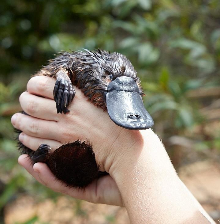 Rescued Baby Platpus Queensland National Park Photo By Elisa The Best Job In The World Park Ranger Australia Com Baby Platypus Platypus Australia Animals