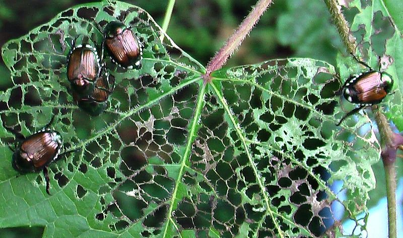 How To Get Rid Of Japanese Beetles And Grubs In Your Lawn Mike Mcgroarty Offers A Variety Of