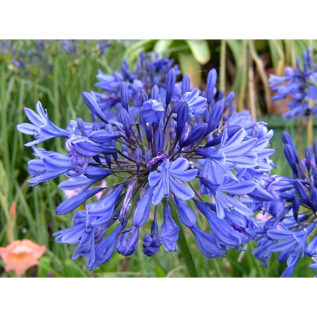 Pin By Valentina Stoyneva On Gardens Gardening Flowers That Attract Butterflies Agapanthus Plants