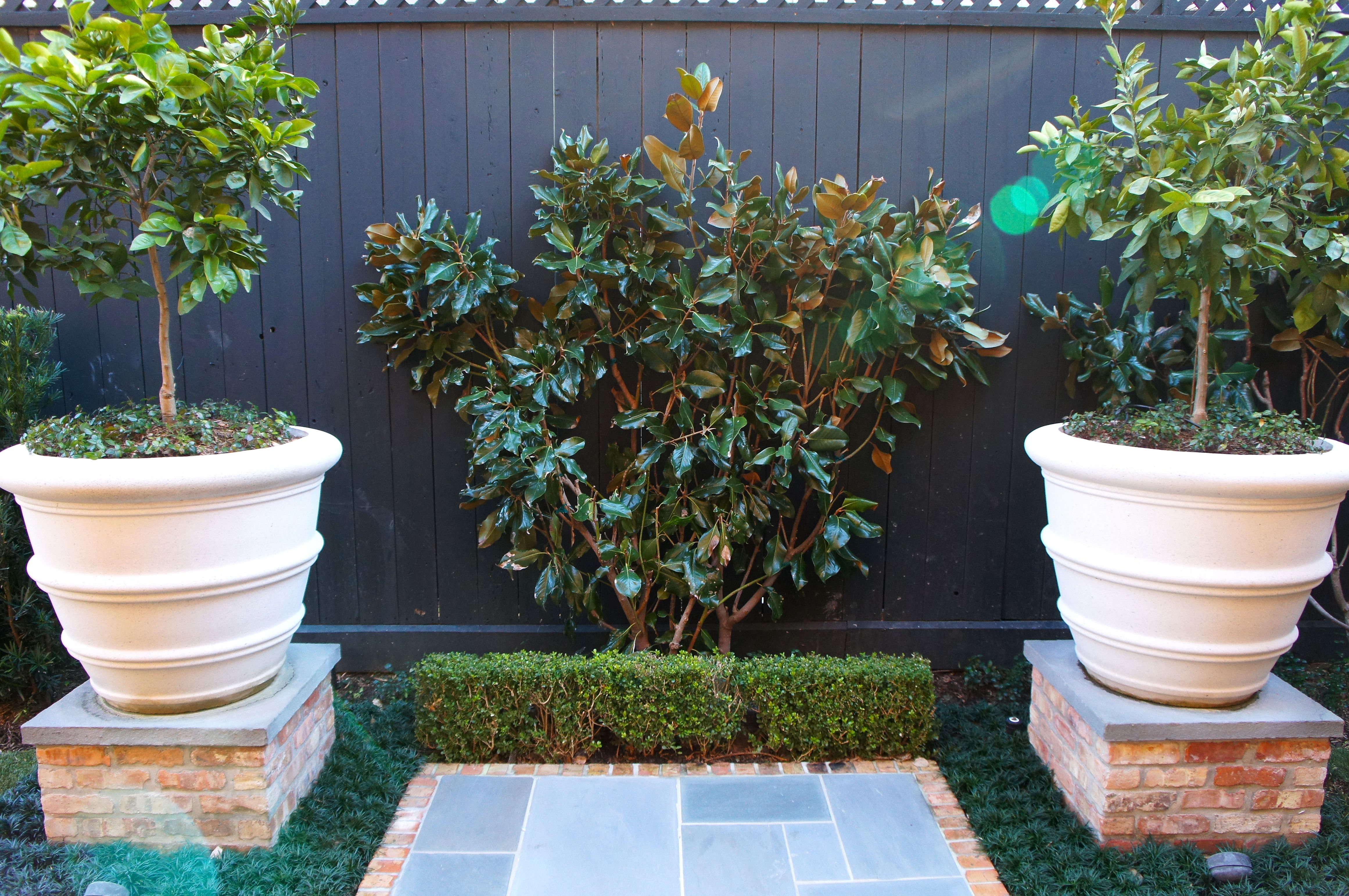 Magnolia Tree Behind Boxwood Hedge With Container Citrus On Either