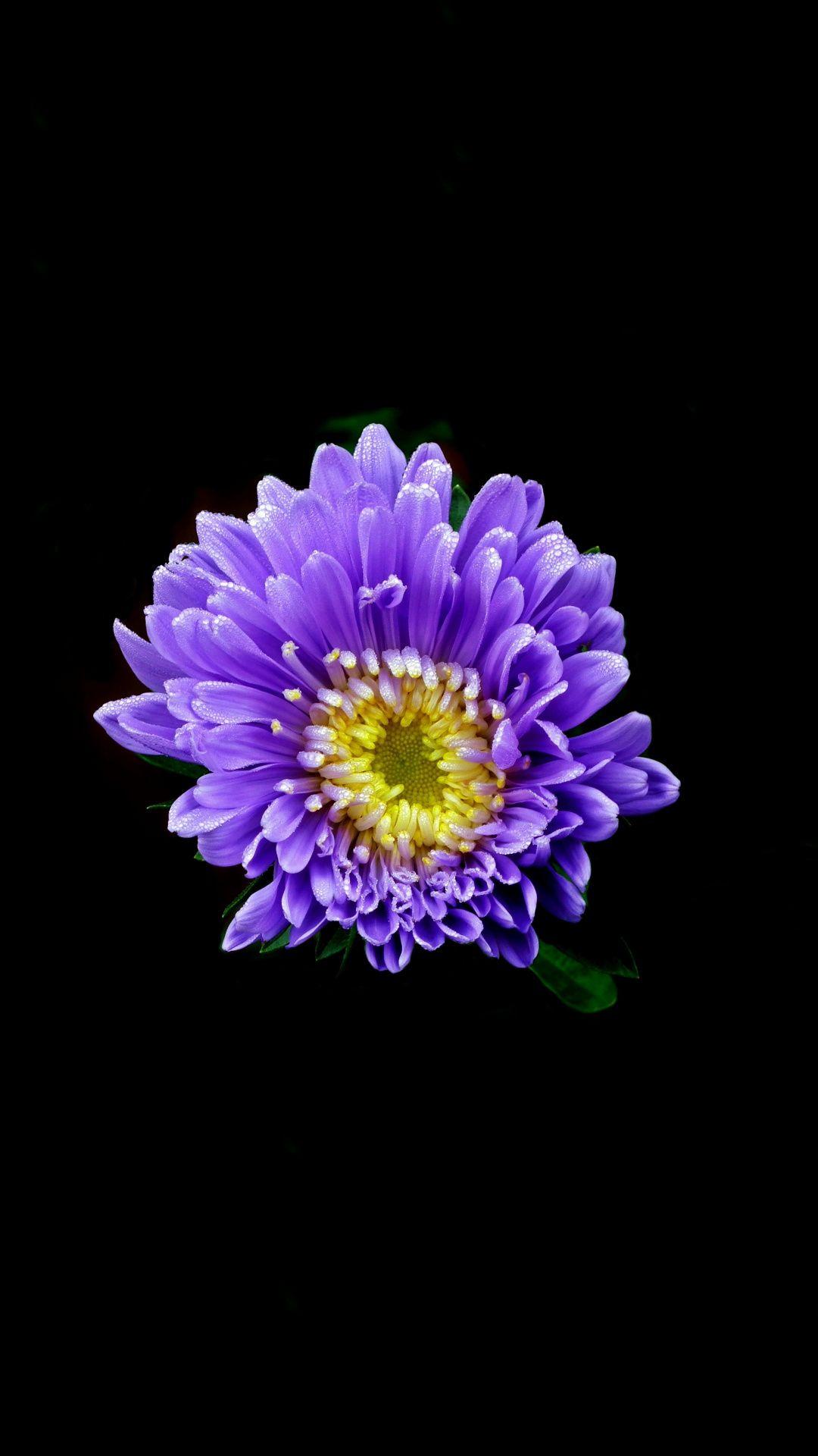 Aster Flower Blue Portrait 1080x1920 Wallpaper Aster Flower Flowers Photography Purple Flowers