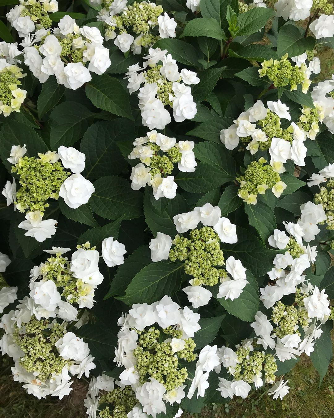 wedding gown hydrangea has the most beautiful bridal bouquet