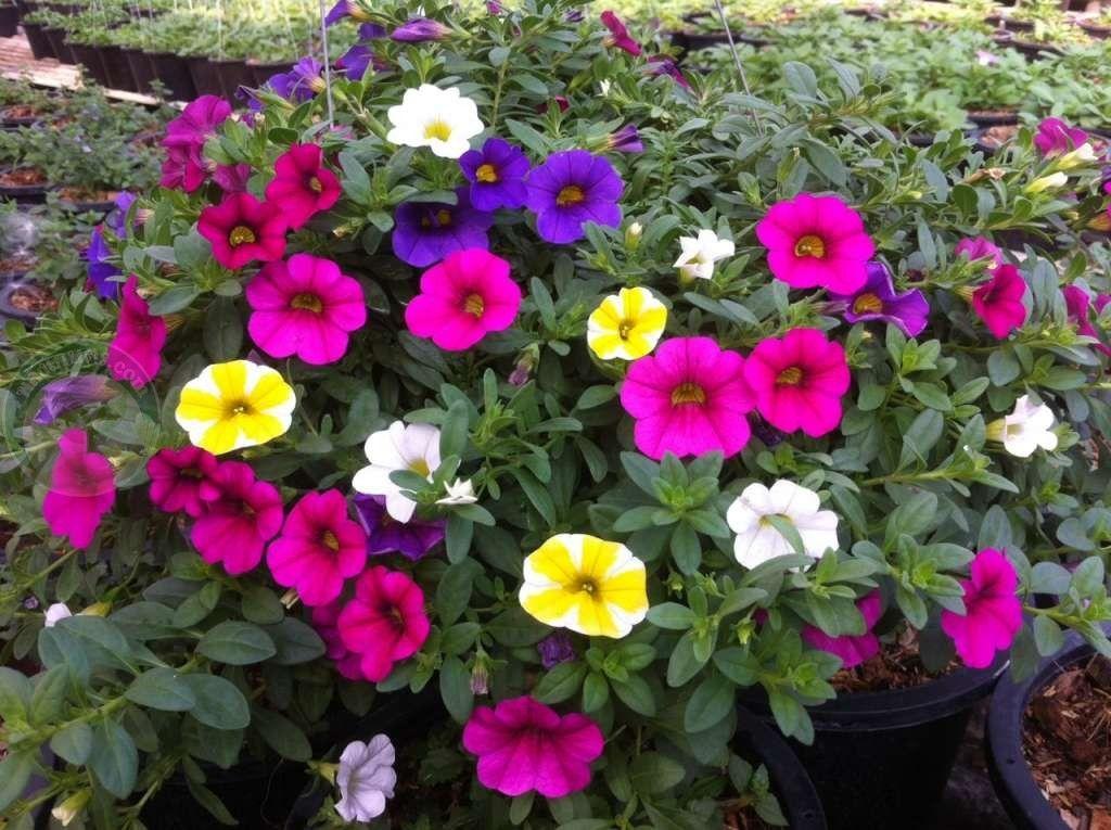 ไม ดอกกระถาง ออกดอกท งป สวนสมค ด กำแพงแสน พล งเกษตร ดอกไม กระถาง กระถางดอกไม
