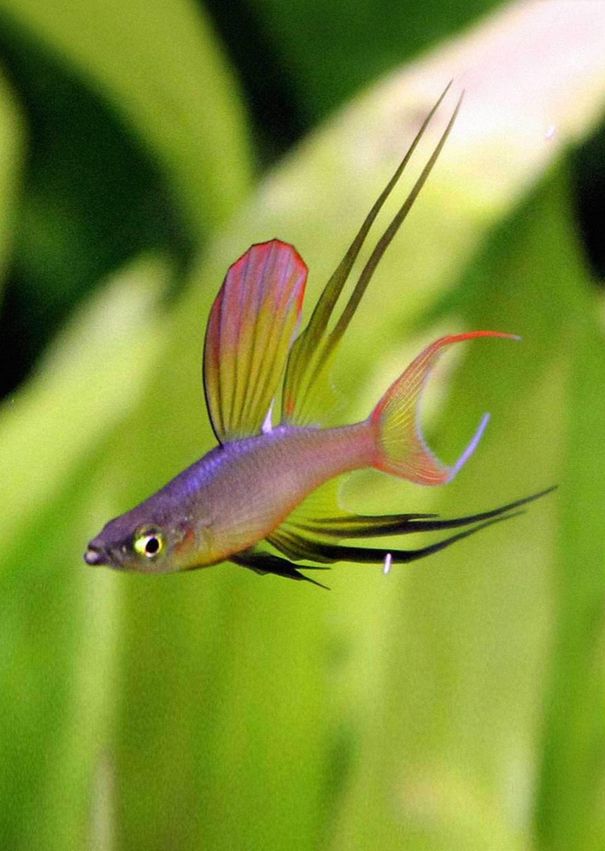 Rainbowfish Threadfin Tropical Fish Aquarium Fish Tropical Fish Aquarium