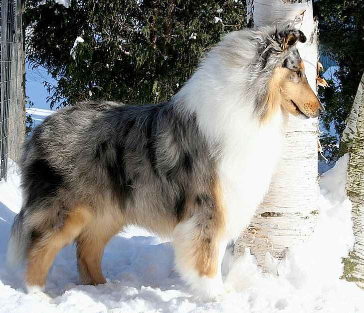 Ch Taliesin Alfenloch Antarctic S Page Alfenloch Rough Collies