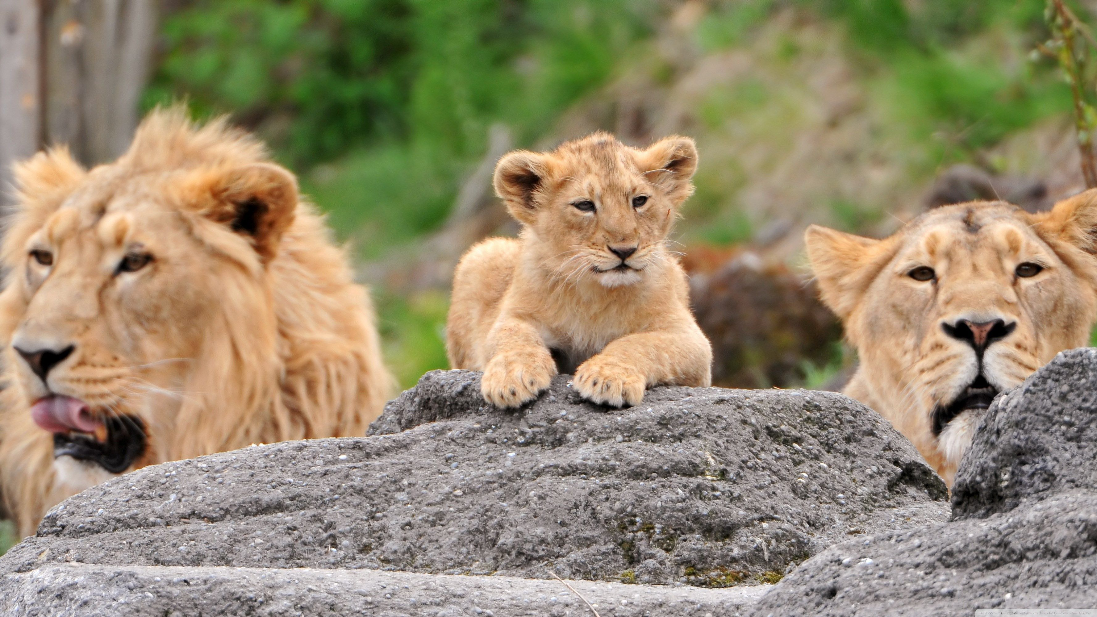 lion images background (Ayers Gordon 3554x1999)