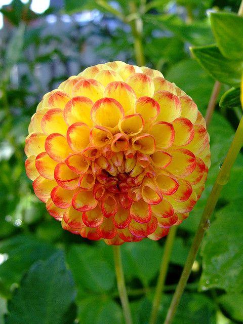 Dahlia Beautiful Flowers Flowers Dahlia Flower