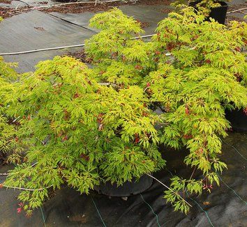 Acer Japonicum Green Cascade Japanese Maples Acer Palmatum
