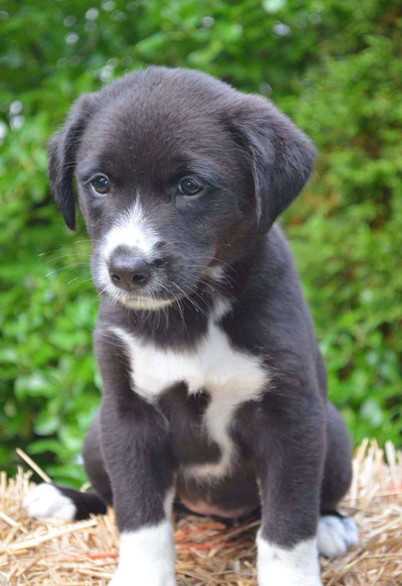 border collie lab puppy