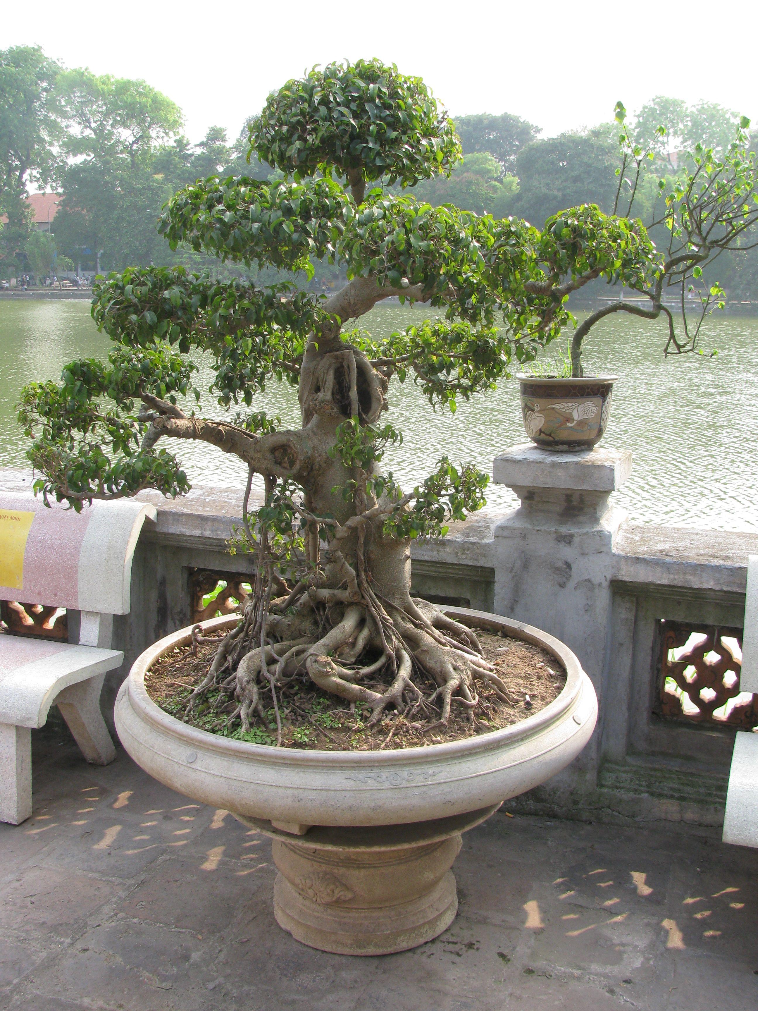 Alberi Nani Da Giardino pin di marcella martegani su bonsai | piante