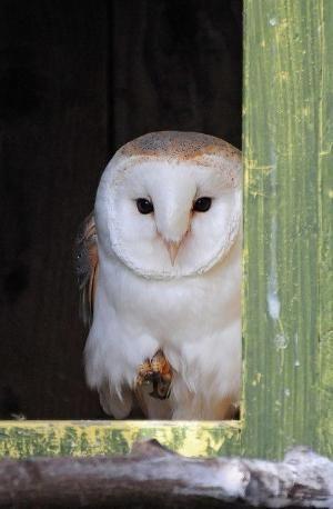 Barn Owl in Nesting Box by henrietta
