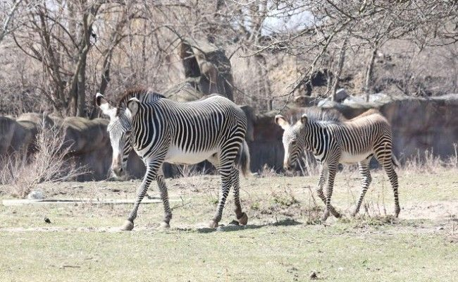 Another birth at the Detroit Zoo, a Grevy zebra named Enzi