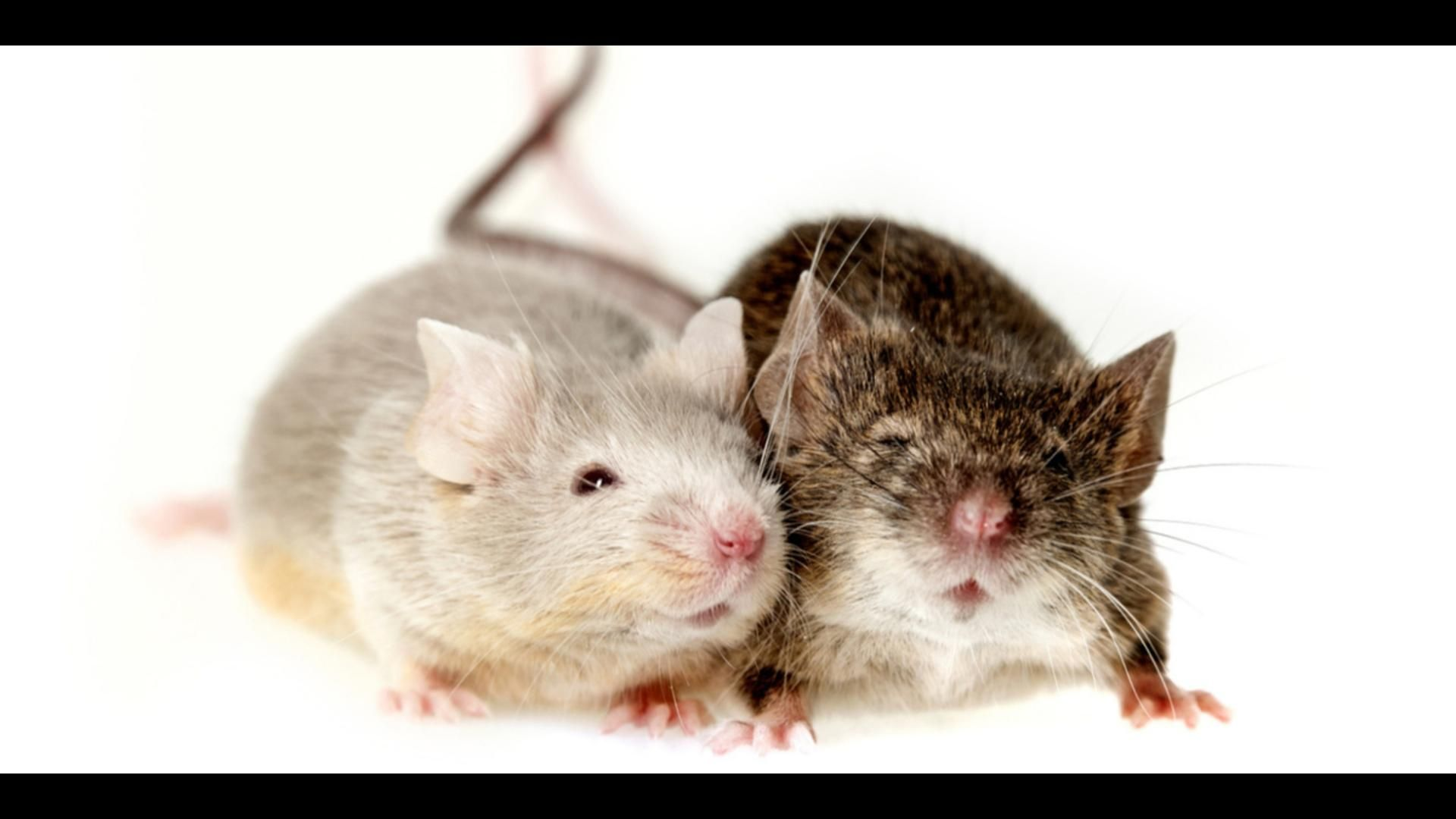 Faire Fuir Les Souris Scientists Are One Step Closer To Reversing The Aging Process