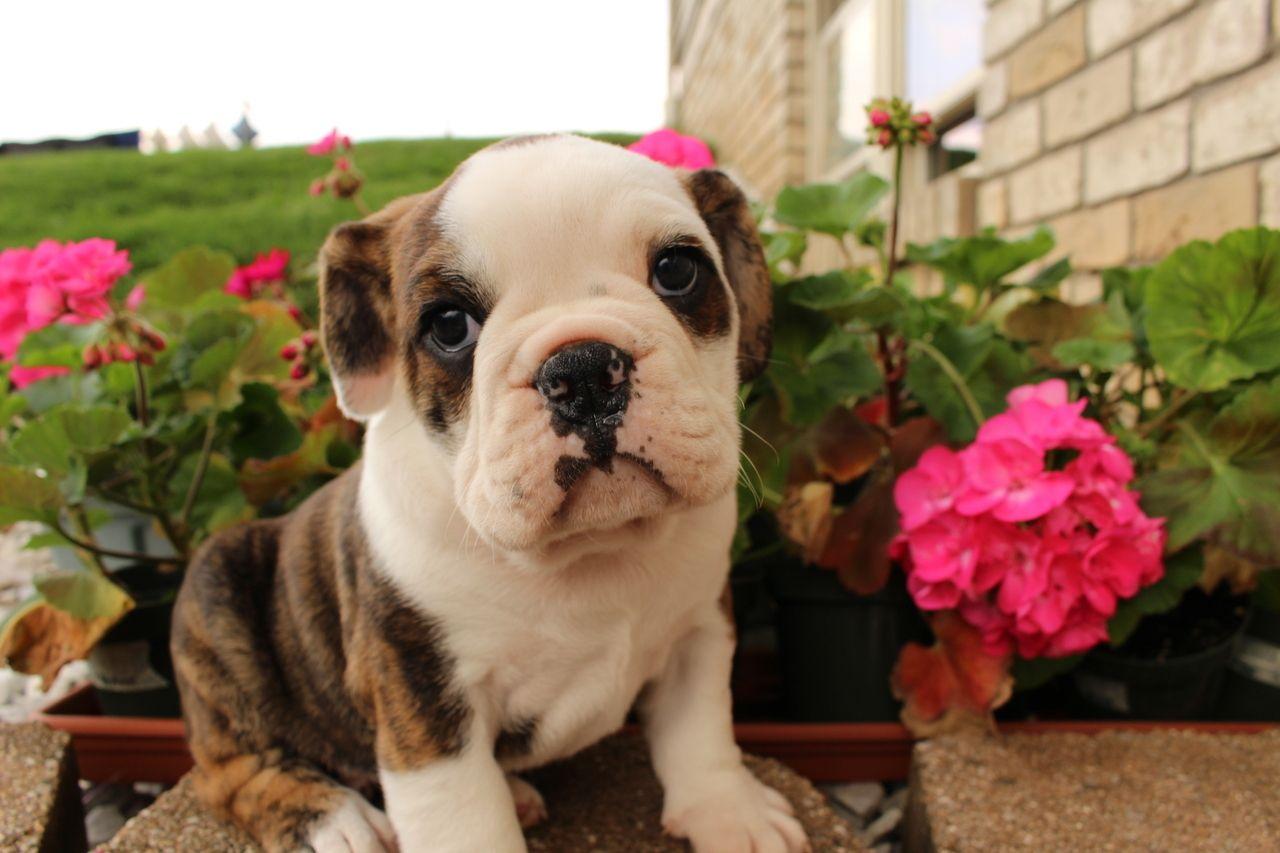 Www Thatdoggyinthewindow Com Frankie Male Bulldog 105 00 Http Stores Thatdoggyinthewindow Com Frankie Male Bull Bulldog Cute Puppy Pictures Cute Puppies
