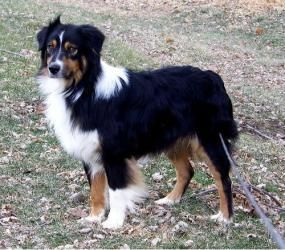Hawk Is An Adoptable Australian Shepherd Dog In Council Bluffs Ia