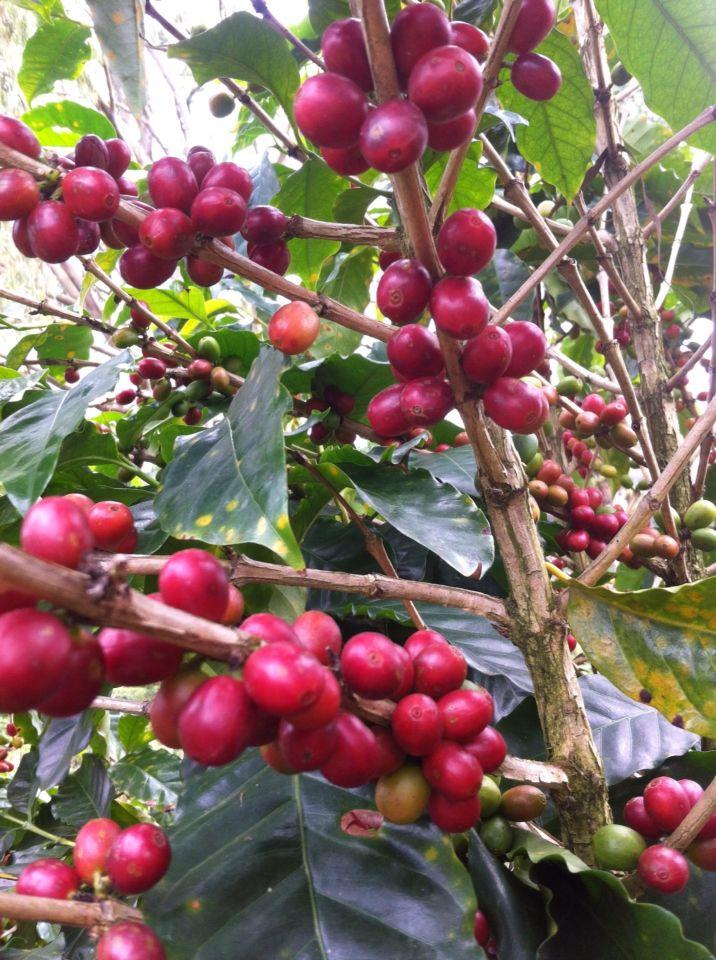 mata de café beneficio las chucaras orosi de cartago café de