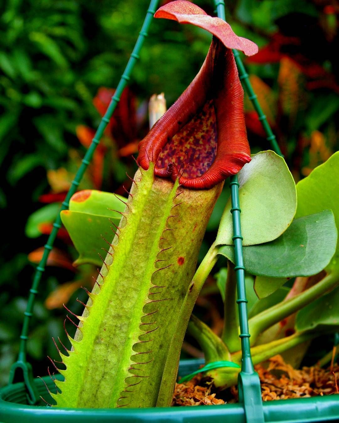 My Organic fleshlight  #nepenthes truncata 'a'  If it's going to be anything like my last truncata it will be catching birds in no time.  #carnivorousplant #carnivorousplants #pitcherplant #tropicalpitcherplant by dickey_me