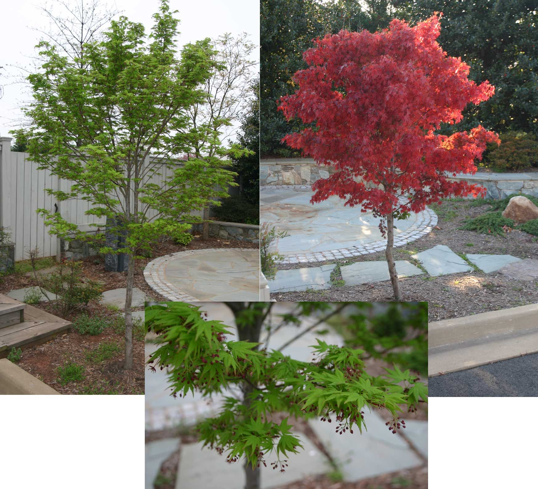 Acer palmatum 39 tobiosho 39 booth garden pinterest for Plants and trees for small gardens