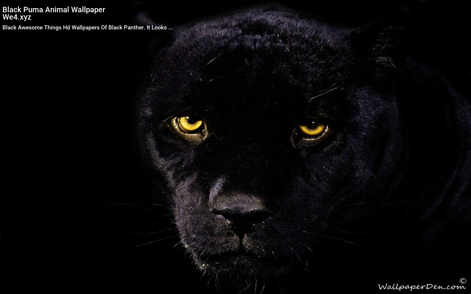 Black Puma Animal Wallpaper Panther Pictures Black Panther Cat Black Panther Hd Wallpaper