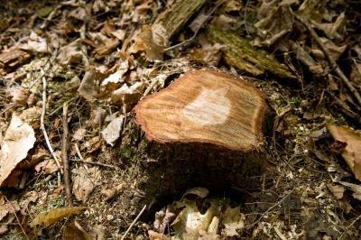 How To Get Rid Of A Bush Stump Stump Removal Tree Stump Kill Tree Stump