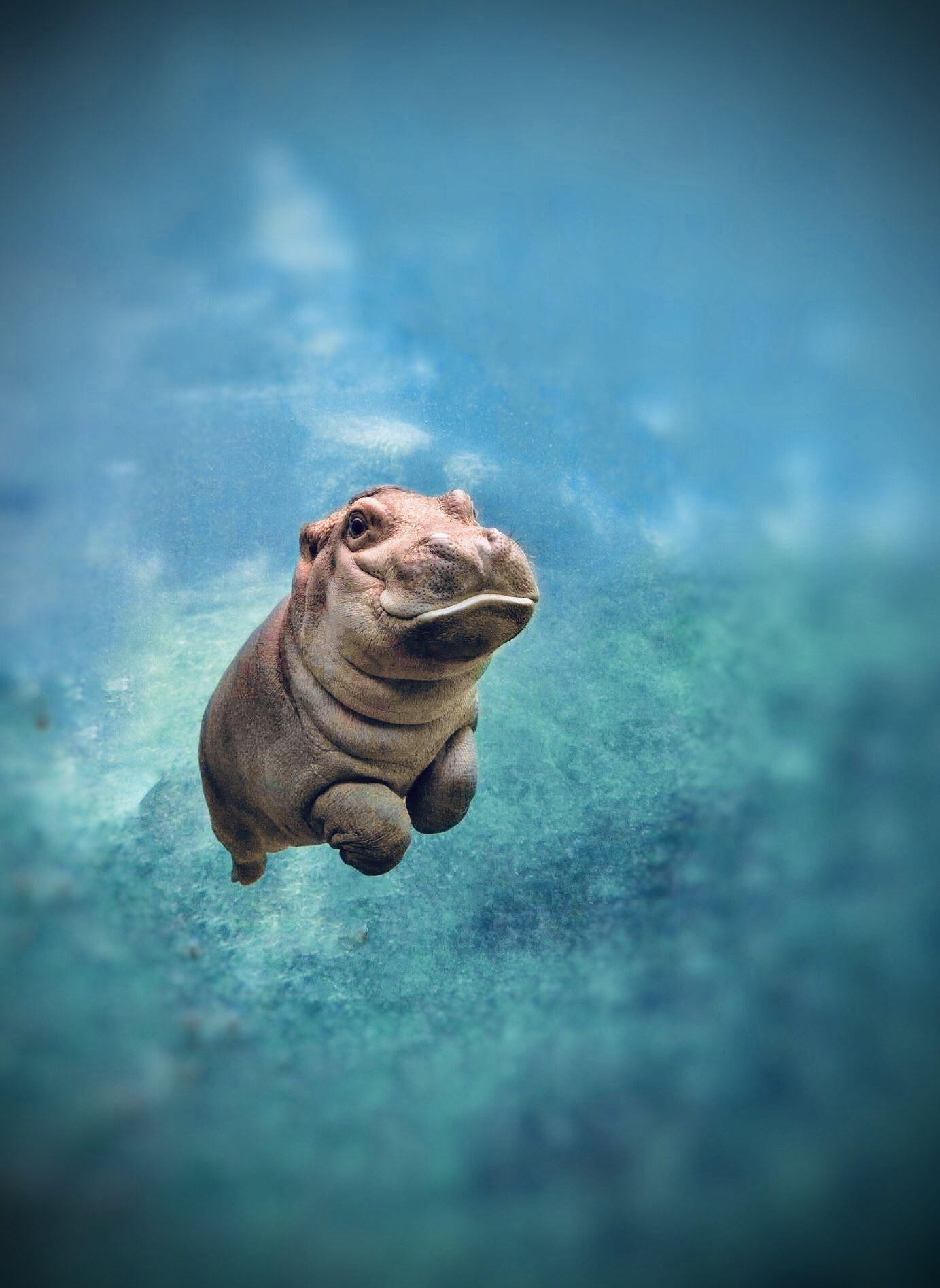 Baby Hippo Iphone Wallpaper Background Baby Hippo Hippopotamus Hippo