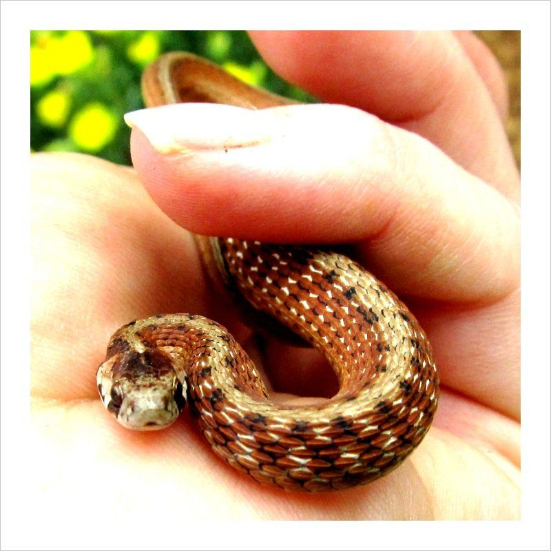 Garden Snake. We used to catch these in the grass or yard ...