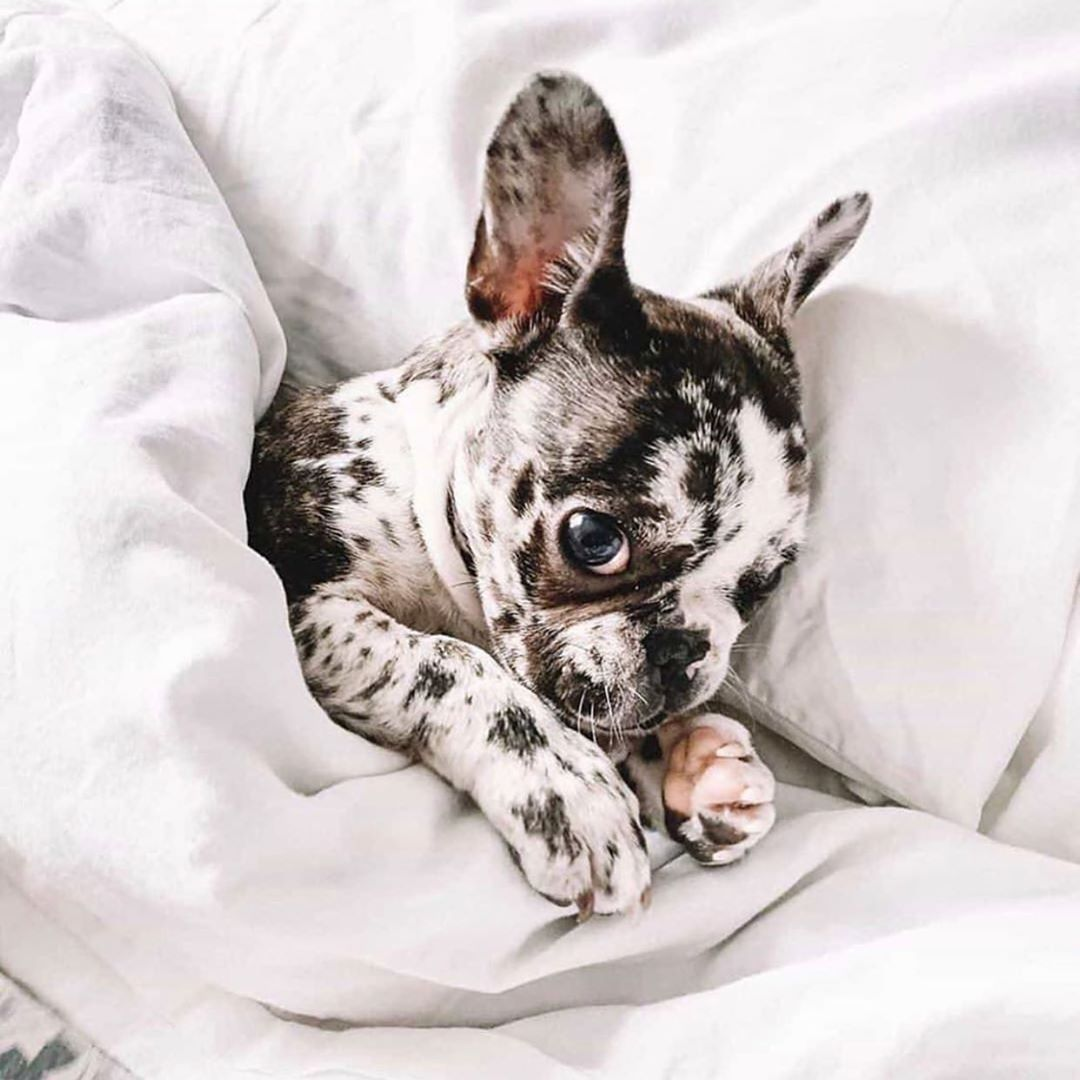 You'll never want to leave home when you've got this little one to cuddle! 😍🐶 - Tag someone who needs to see this! ❤️ - Credit: @mocha.the.merle.frenchie - #instadog #frenchie #frenchielovers #frenchiesociety #frenchiesquad #frenchielove #frenchiesofinstagram #frenchiefam #frenchiepuppy #frenchie_feature #frenchie_mob #dogstagram #cutedogphotos #dogphotoshoot